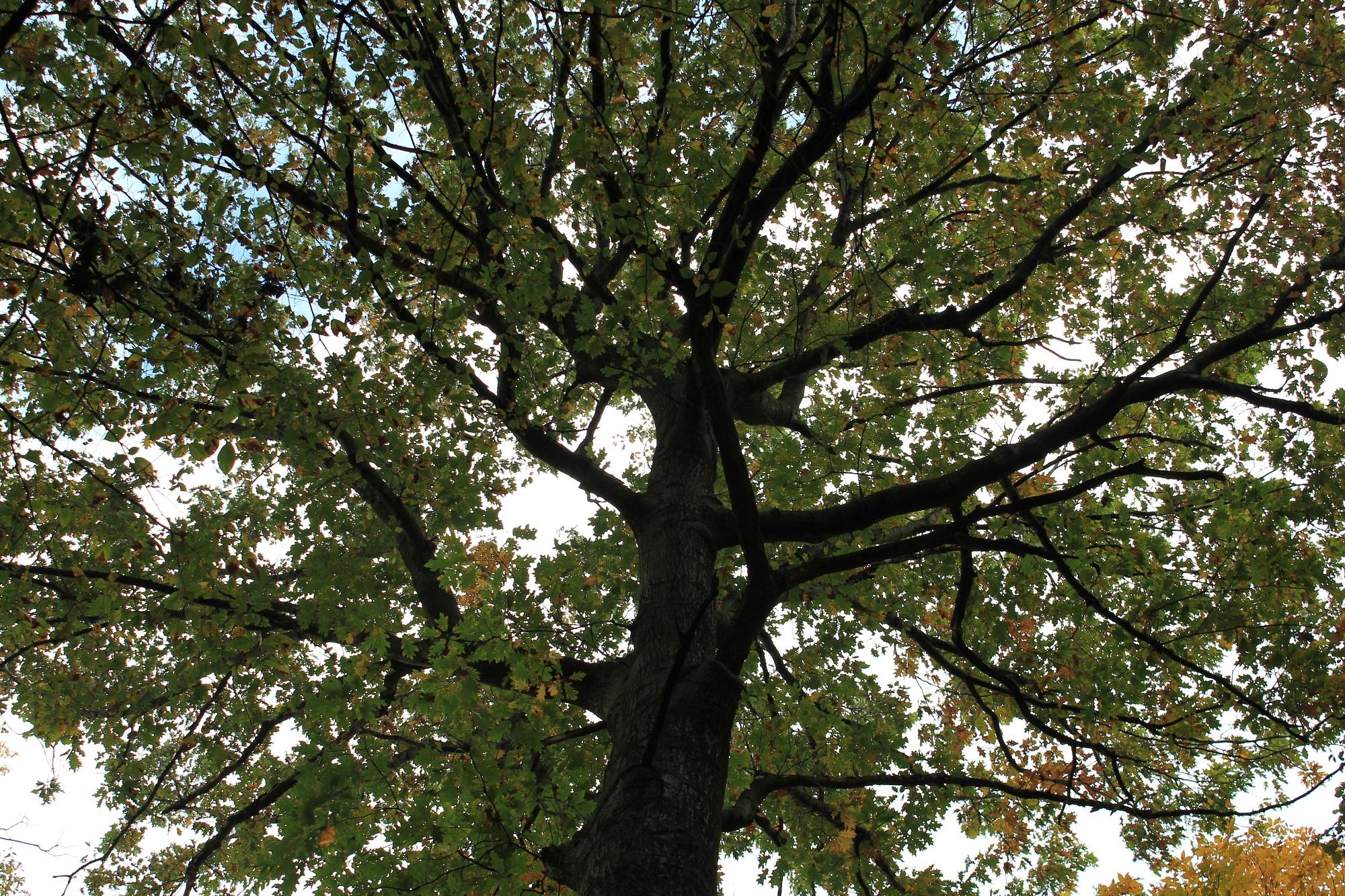 Thompson oak canopy -Burke