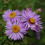 New England aster-Fred Flynn 1