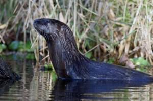 River Otter Portage Michigan