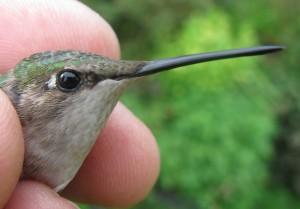 ated Hummingbird Waterloo Michigan