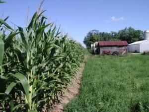 cort corn photo