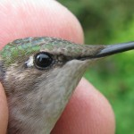 """Oldest Confirmed Ruby-Throated Hummingbird Lives in Michigan!"" by Allen Chartier"