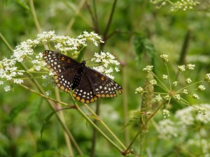 Butterfly, Manchester Michigan