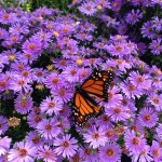"""""""Local parks, nature preserves seek solutions for dwindling monarch butterfly populations"""" by Nathanial Siddall"""