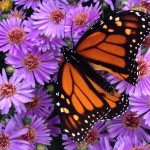 Legacy Land Conservancy, Monarch, Butterfly