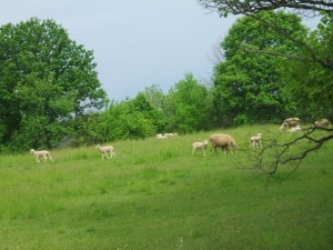 Sheep, Lambs, Michigan Farmland