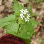 Don't miss the forest for the garlic mustard