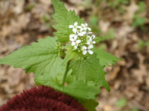 Garlic Mustard, Invasive Species, Michigan Invasive Species