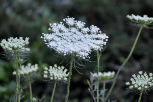 Queen Anne's Lace, Invasive Species, Michigan Invasive Species