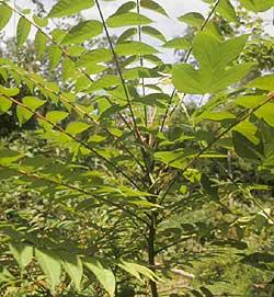 Tree of Heaven, Invasive Species, Michigan Invasives