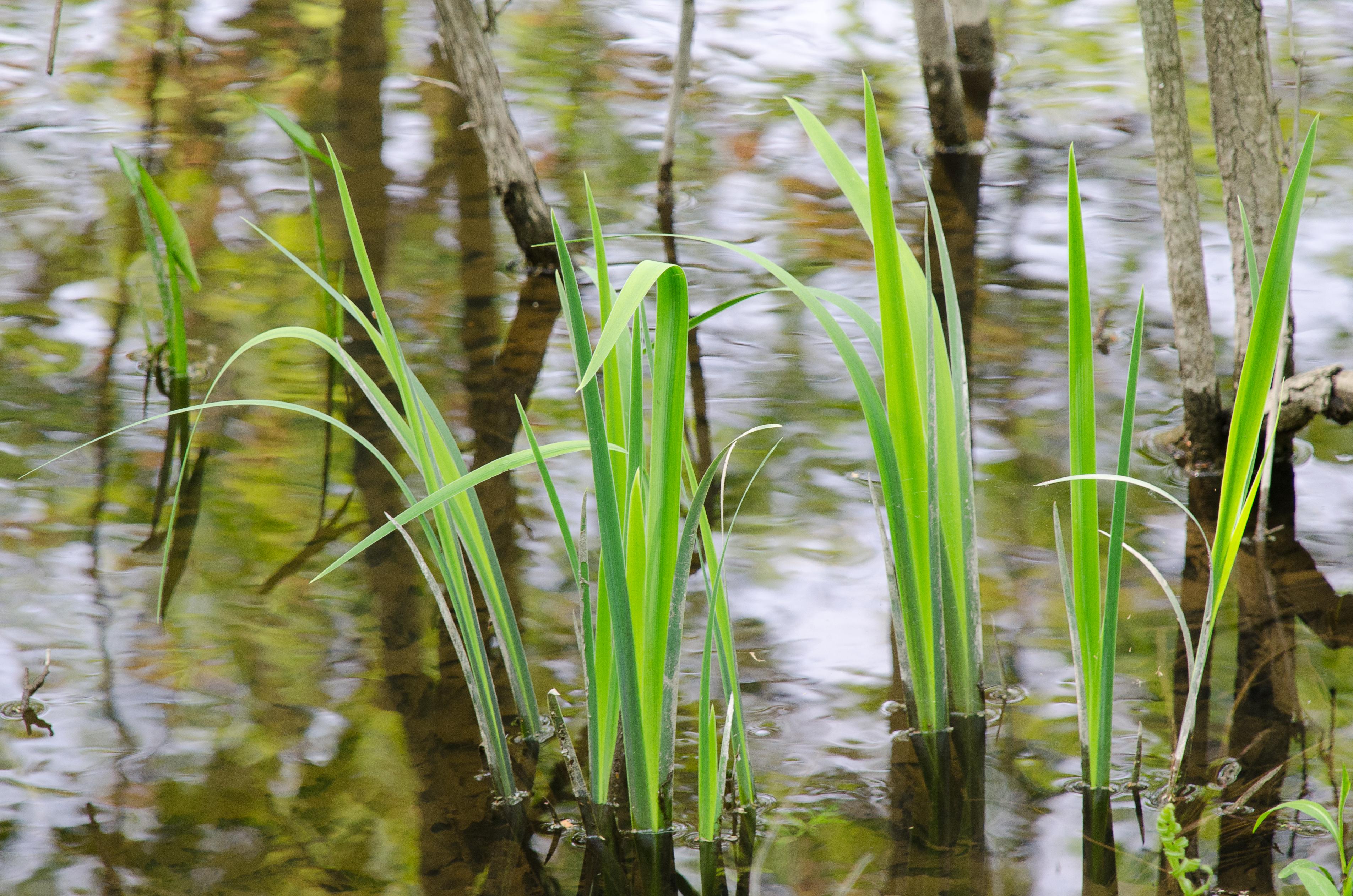 Michigan Invasive Species, Michigan Invasives, Cattails