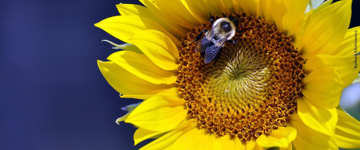 sunflower-Barbara Michniewicz_web slider_with credit