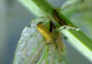 Loosestrife larva. Photo: Wikimedia Commons