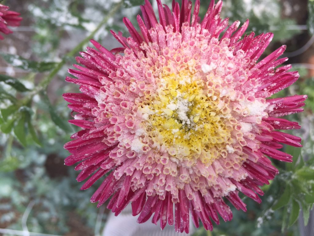 An aster dusted with flower and sprayed with garlic water in a mostly successful attempt to deter pests naturally. Photo by Trilby Becker.