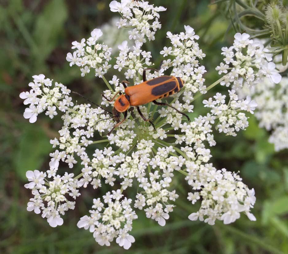 Goldenrod soldier beetle.