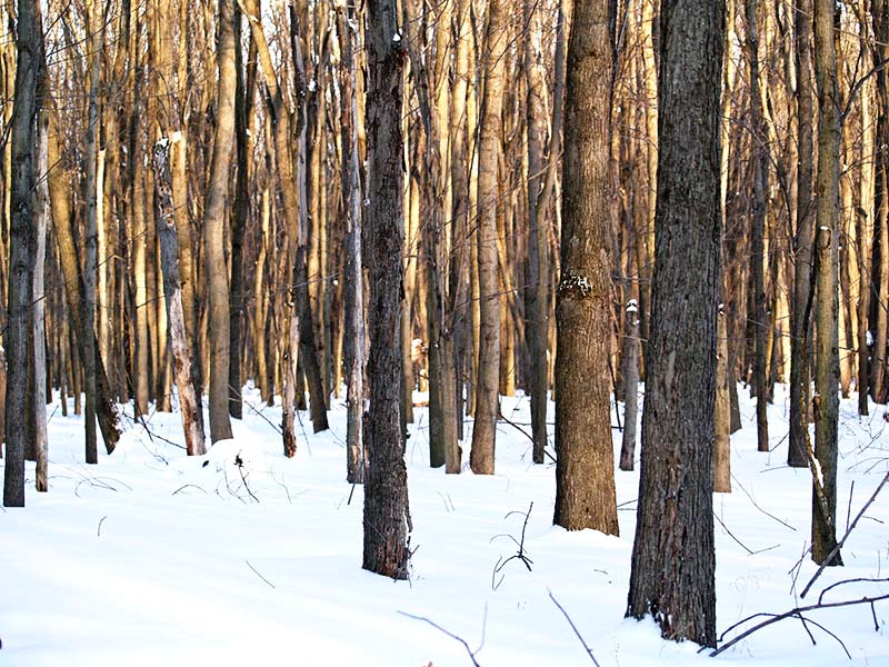 Bare trees in snow on land protected by Legacy. Photo by Dave Foster.