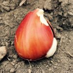 Planting bulbs, an exercise in timing and optimism