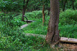 Boardwalk at Beckwith Preserve