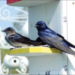 Saving Purple Martins