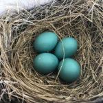 robins eggs photo credit neal billetdeaux